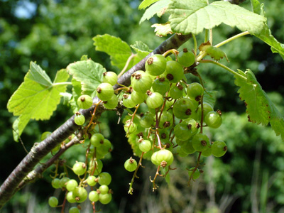 Growing redcurrants