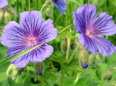 Hardy geranium 1