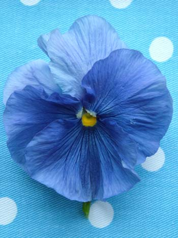 Pansy on blue (500)