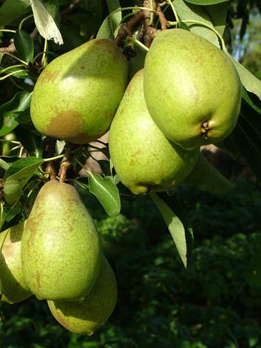 Pears in abundance (500)