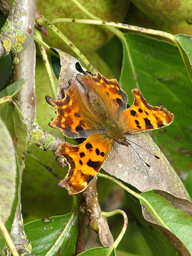 Comma on pear tree (500)