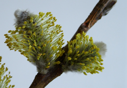 Pussy willow in bloom (500)