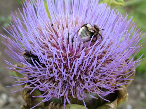 Flowering globe artichoke and friends (500)