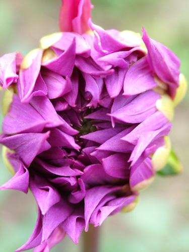 Babylon Rose in bud (500)