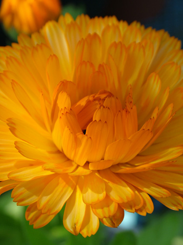 Allotment marigold (500)
