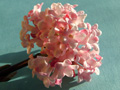 Viburnum_close_up_for_growing_page
