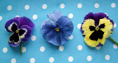 Pansies_on_spots_3