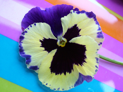 Pansy_on_stripes