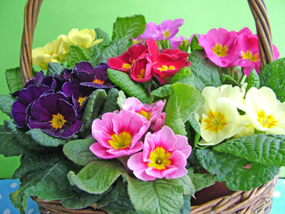 Primroses_in_basket