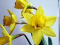 Daffodils_120