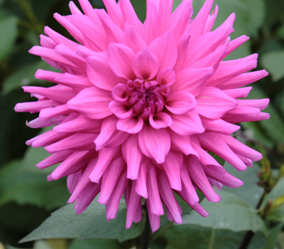 Dahlia_from_national_collection_400