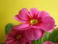 Pink_primrose_on_yellow_120